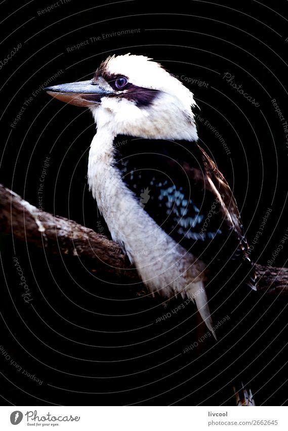 Kookaburra II, Australien Ferien & Urlaub & Reisen Ausflug Abenteuer Natur Tier Frühling Vogel 1 dunkel Freundlichkeit schön niedlich wild schwarz Einsamkeit