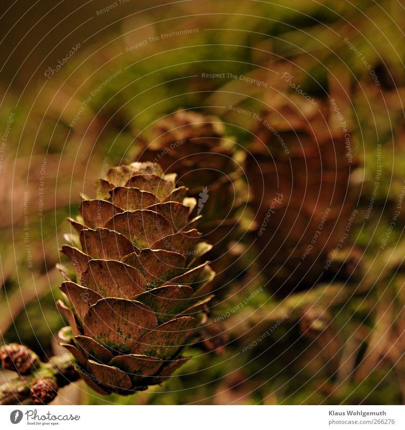 Zapfenstreich grün Pflanze braun Freundlichkeit Zweig Baum Makroaufnahme Lärche