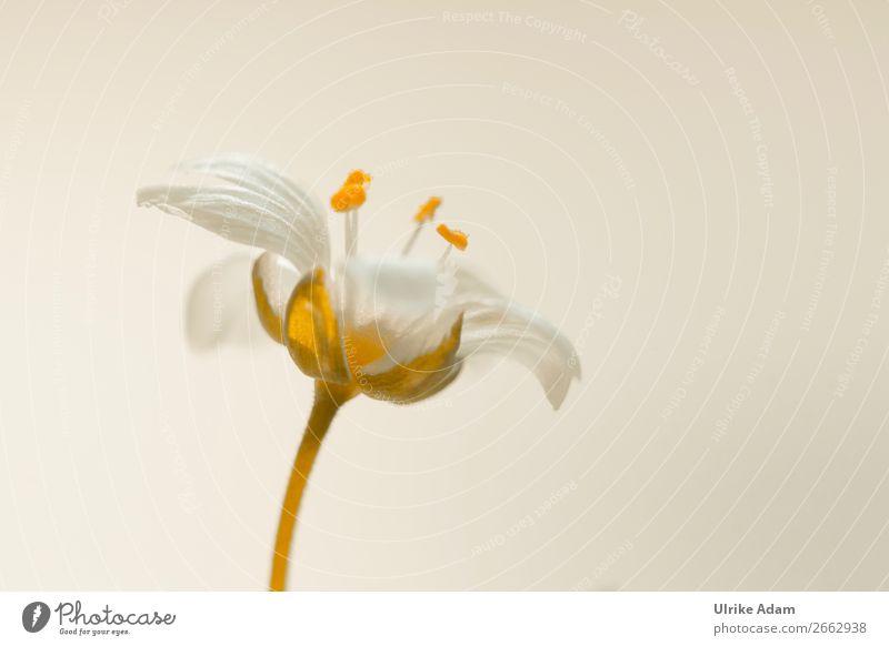 Sternmiere ( Stellaria ) elegant Design Wellness Leben harmonisch Wohlgefühl Zufriedenheit Erholung ruhig Meditation Kur Spa Dekoration & Verzierung Tapete