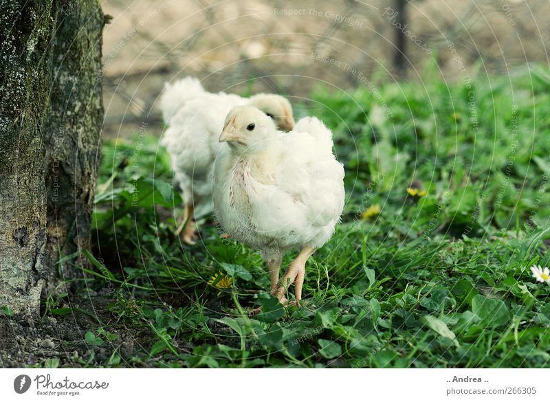 Kükenalarm weiß Tier Wiese Glück Garten Lebensmittel Feder Flügel Landwirtschaft entdecken Bioprodukte Ei Fleisch füttern Haushuhn Küken