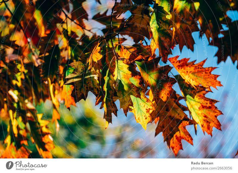 Gelbe und orange Herbstbaumblätter in der Herbstsaison Garten Umwelt Natur Landschaft Pflanze Schönes Wetter Baum Blatt Grünpflanze Park Wald schön natürlich