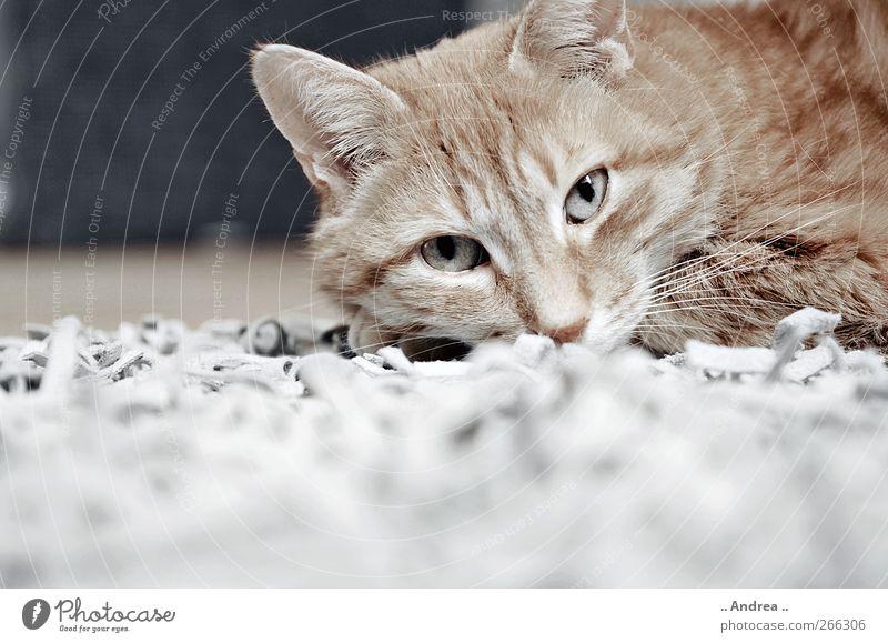 Red Tiger 23 Wellness schlafen Hauskatze Katze Mietzi Stubentiger getigert rot cat kuschlig liegen Tierporträt Teppich Erschöpfung Langeweile Appetit & Hunger