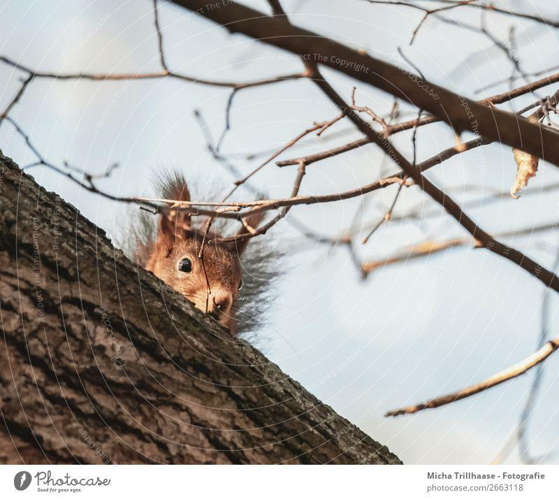 Kleiner Beobachter Natur Tier Himmel Sonnenlicht Schönes Wetter Baum Wald Wildtier Tiergesicht Fell Eichhörnchen Ohr Auge Nase 1 beobachten Blick lustig nah