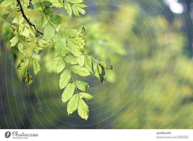 60 Blätter Natur Sommer Herbst Pflanze Baum Blatt Grünpflanze saftig gelb grün ruhig Zufriedenheit Erholung Umwelt Farbfoto Außenaufnahme Detailaufnahme
