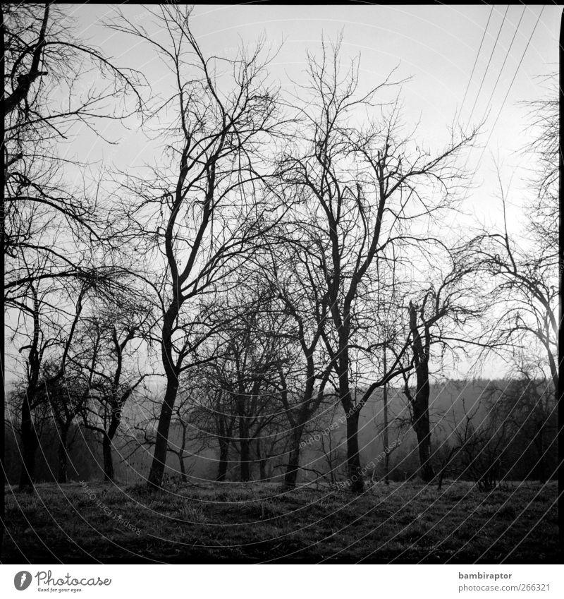 Bäume III Umwelt Natur Landschaft Baum Gras Ast Hochspannungsleitung analog kahl Schwarzweißfoto Außenaufnahme Menschenleer Licht Schatten Kontrast Silhouette