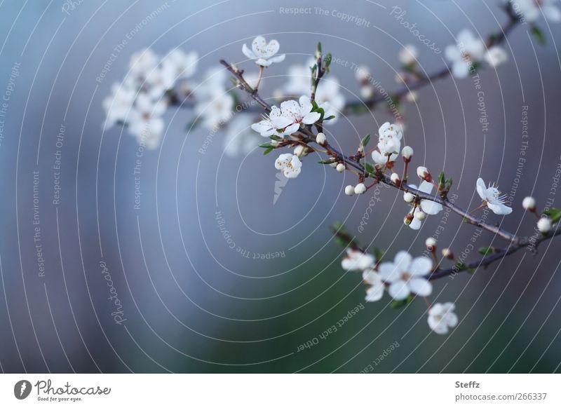 Neuanfang Natur Pflanze blau schön Umwelt Blüte Frühling Dekoration & Verzierung Idylle ästhetisch Beginn Blühend Romantik Wandel & Veränderung Zweig