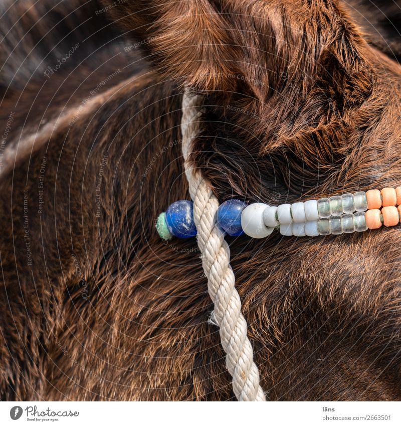 bin ganz Ohr Tier Fell Nutztier Esel 1 braun Behaarung Halfter Farbfoto Außenaufnahme Menschenleer Textfreiraum links Tag Licht Schatten Kontrast