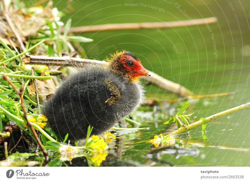 gemeines eurasisches Blässhuhn junges Küken in der Nähe des Nestes schön Baby Jugendliche Umwelt Natur Tier Teich See Vogel klein natürlich niedlich wild rot