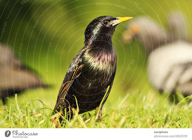 gemeinsamer europäischer Star auf dem Rasen schön Garten Natur Tier Gras Park Wiese Vogel natürlich wild grau grün schwarz Farbe Schnabel allgemein Tierwelt