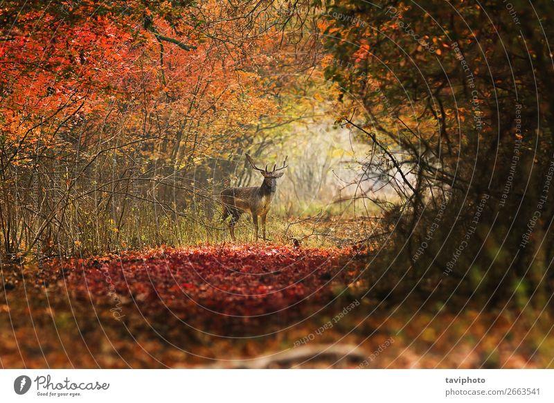 neugieriger Hirsch, der auf den Fotografen schaut. schön Spielen Jagd Mann Erwachsene Umwelt Natur Landschaft Tier Herbst Park Wald Straße stehen verblüht