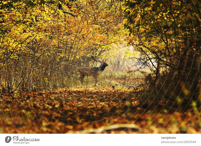 Hirschbock überquert Forststraße schön Leben Spielen Jagd Mann Erwachsene Umwelt Natur Landschaft Tier Herbst Blatt Wald Straße Wege & Pfade verblüht dreckig