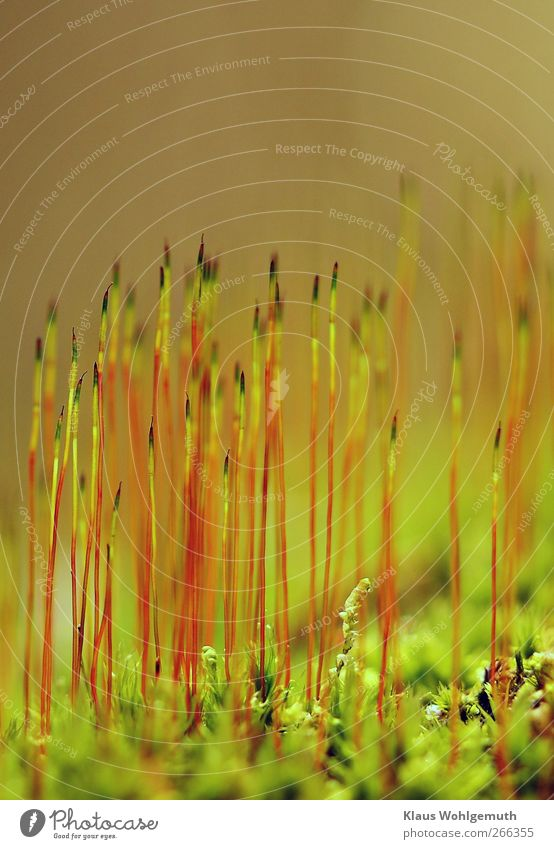 Bryophyta Natur grün schön Pflanze rot Umwelt Frühling Moos