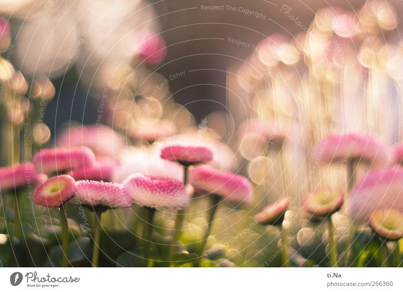 Frühlingsleuchten Pflanze Schönes Wetter Blume Blüte Topfpflanze Gänseblümchen Garten Blühend Duft träumen hell schön grün rosa Lebensfreude Frühlingsgefühle