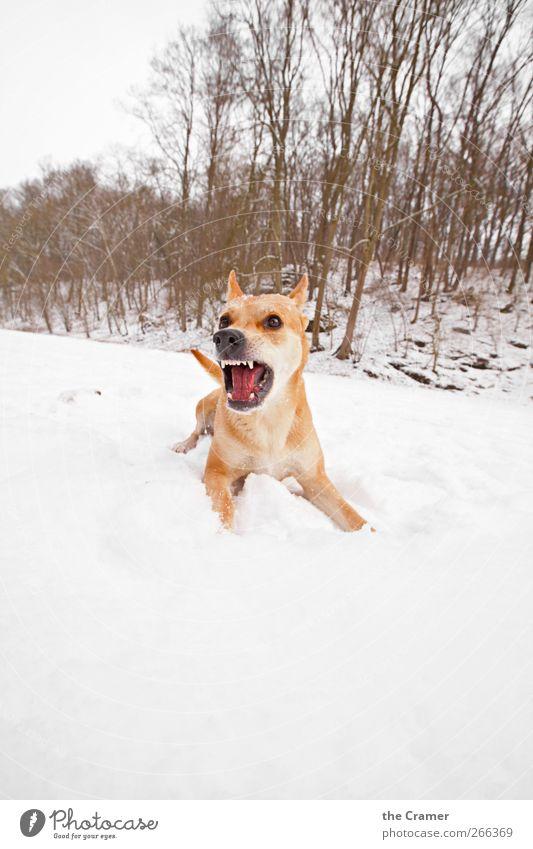 Wilder Hund 02 Natur weiß Baum rot Winter Tier gelb Schnee Eis Gesundheit Kraft Feld Wildtier wild Frost