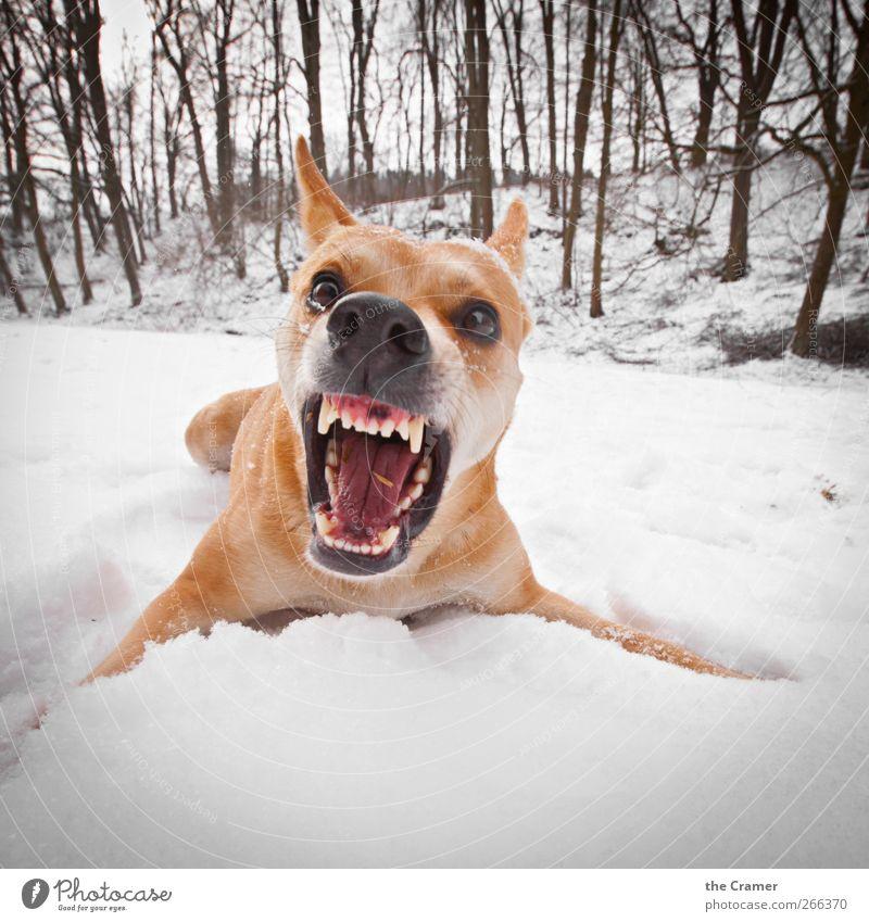 Wilder Hund 03 Natur weiß rot Winter Tier gelb Schnee Eis Kraft Angst Feld Wildtier wild gefährlich Frost
