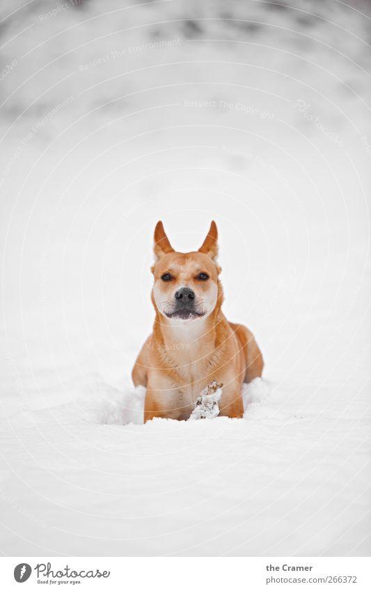 Wilder Hund 04 Natur Winter Schnee Wiese Feld Tier Haustier Wildtier Wolf Dingo 1 beobachten Lächeln liegen träumen warten Gesundheit frei hell rebellisch gelb