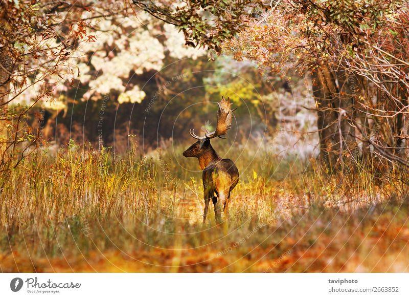 Damhirschbock in schöner Herbstwaldumgebung Jagd Mann Erwachsene Natur Landschaft Tier Baum Gras Blatt Park Wald stehen verblüht groß natürlich wild braun Farbe