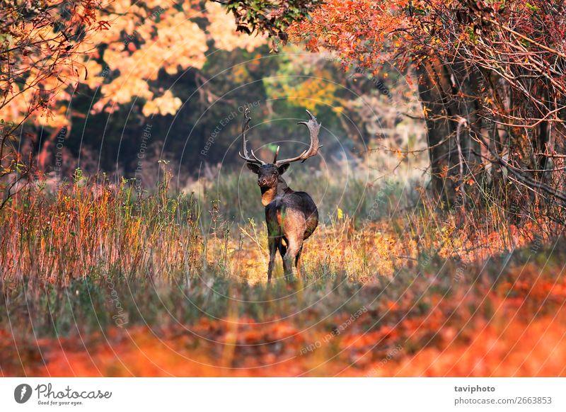 Damhirschbock in schöner Herbstlandschaft Spielen Jagd Mann Erwachsene Umwelt Natur Landschaft Tier Baum Gras Blatt Park Wald Straße Wege & Pfade Weiche stehen