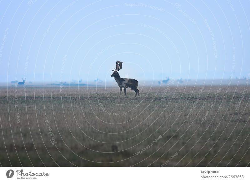 großer Damhirschbock in der Dämmerung schön Spielen Jagd Mann Erwachsene Umwelt Natur Landschaft Tier Herbst Nebel Park Wiese Wald Pelzmantel verblüht natürlich
