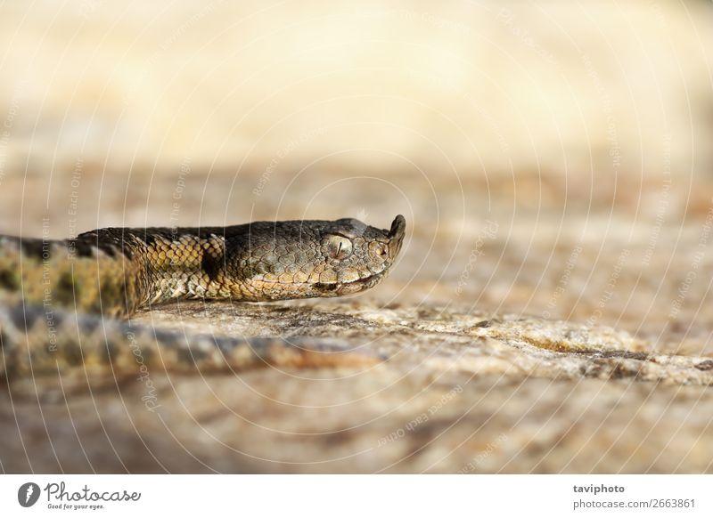 Makroaufnahme der europäischen Nasenhörner-Viper schön Natur Tier Sand Schlange groß gruselig natürlich wild braun Angst gefährlich Natter Ammodyten Vipera