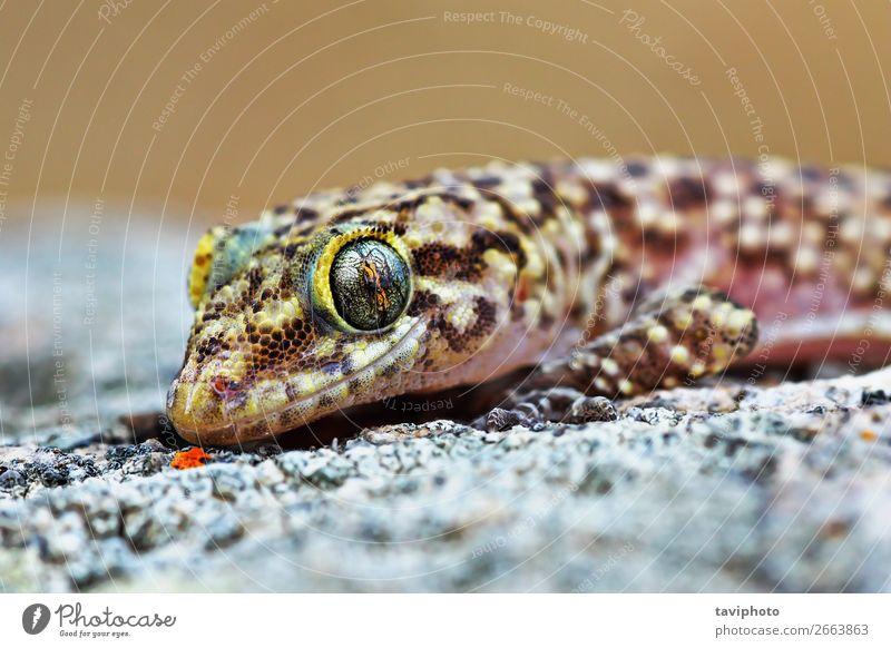 mediterranes Haus Gecko-Porträt exotisch schön Haut Gesicht Natur Tier Haustier natürlich niedlich wild braun grau Farbe Lizard Reptil Tierwelt Halbfinger-Gecko
