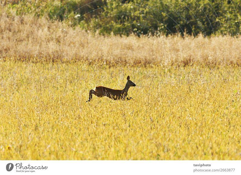 Rehwild springt auf Weizenfeld schön Spielen Jagd Sommer Frau Erwachsene Natur Landschaft Tier Gras Wiese springen natürlich niedlich Geschwindigkeit braun grün