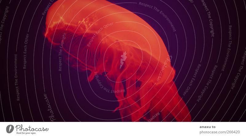 Alien Quallen 1 Tier rot Außerirdischer Farbfoto bizarr Vor dunklem Hintergrund Textfreiraum links Textfreiraum rechts Meerestier