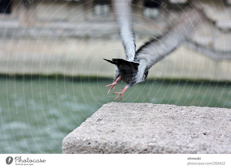 Abflug Fluss Seine Tier Vogel Taube 1 fliegen Flugangst Beginn Abheben Farbfoto Außenaufnahme Textfreiraum oben Textfreiraum unten Bewegungsunschärfe