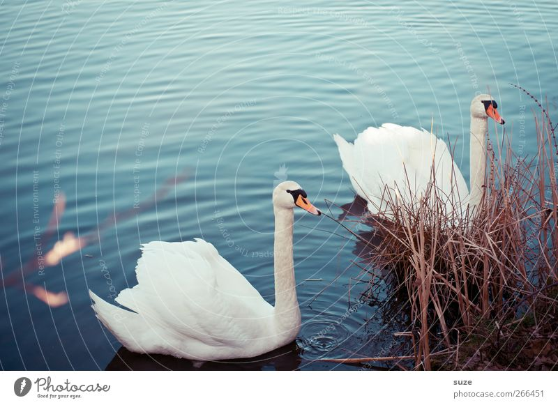 Annäherung Umwelt Natur Tier Wasser Gras Seeufer Wildtier Vogel Schwan 2 Tierpaar Brunft beobachten ästhetisch schön blau weiß Stimmung Feder Schwanensee