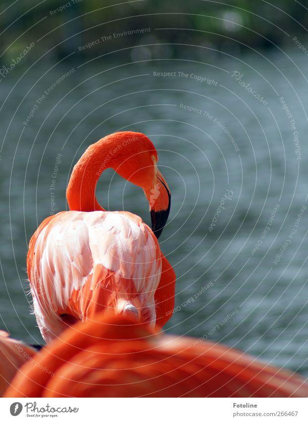 Flamingis Umwelt Natur Tier Urelemente Wasser Küste Wildtier Vogel Flamingo Flügel hell natürlich rosa orange Schnabel Feder Farbfoto mehrfarbig Außenaufnahme