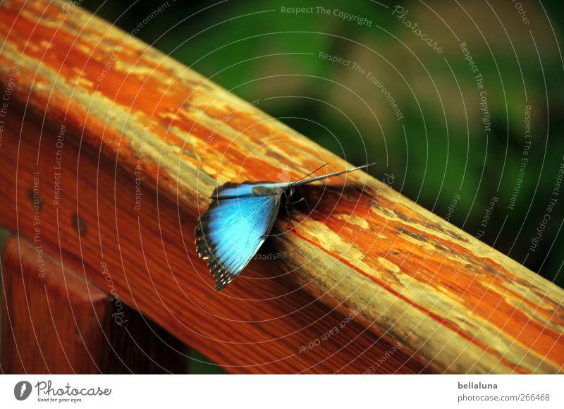 Blaues Wunder - extra für Inkje ;-) blau grün schön Tier schwarz braun Wildtier elegant außergewöhnlich Flügel fantastisch Schmetterling exotisch Teneriffa