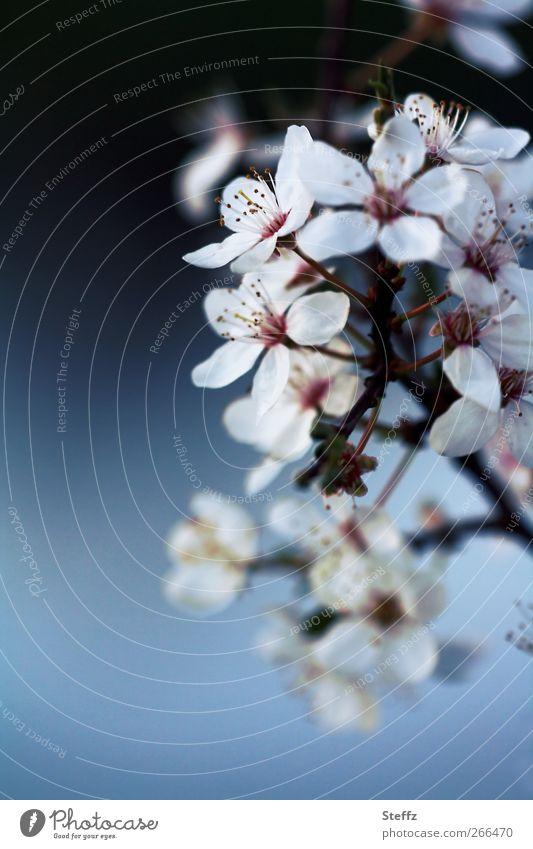 Neubeginn mit dem Frühling Kirschblüten Frühlingserwachen Blüte Frühlingsblüte blühen April Mai Zweig Frühblüher Frühlingsbote Jungpflanze Frühlingstag