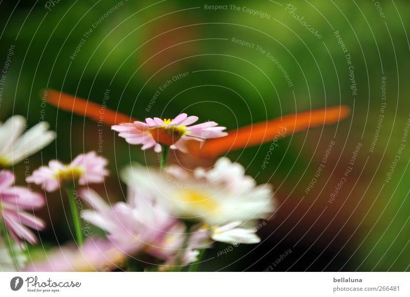 Naschen im Verborgenen Natur grün schön Pflanze Blume Blatt Tier gelb Gras Blüte orange rosa Wildtier außergewöhnlich Flügel Schmetterling