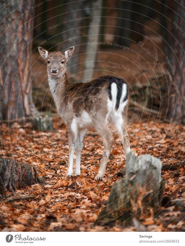 Aufmerksam Natur Tier Herbst Winter Blatt Wald Wildtier Tiergesicht Fell Pfote Zoo 1 Tierjunges Blick Damwild Reh Farbfoto Gedeckte Farben mehrfarbig