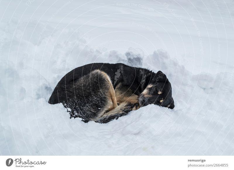 Hund schläft auf Schnee Winter Fuß Umwelt Tier Wetter Park Pfote schlafen wild schwarz weiß Einsamkeit Verlassen kalt driften Frost gefroren heimatlos aussruhen