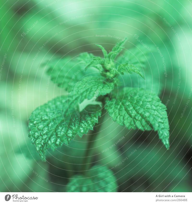 grün kann brennen Bioprodukte Umwelt Natur Pflanze Frühling Wildpflanze Brennnessel Wiese Feld frisch Blatt Strukturen & Formen Gesundheit Farbfoto