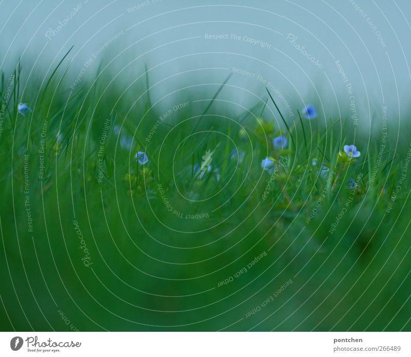 Natur Nahaufnahme von kleinen lila Blumen im Gras. Ehrenpreis grün Wiese Frühling Unschärfe violett Außenaufnahme Umwelt