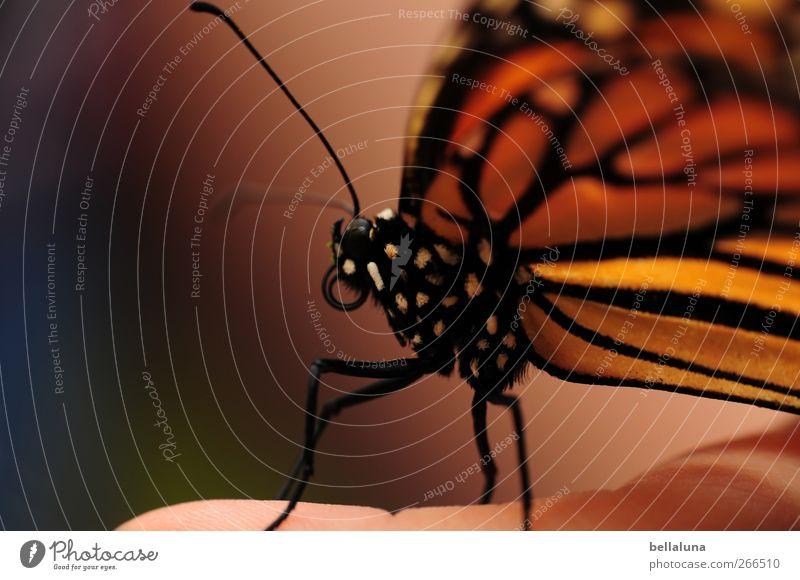 Blaublütig - Der Monarch Mensch Natur weiß schön Tier schwarz orange rosa Wildtier sitzen natürlich außergewöhnlich Finger ästhetisch Flügel weich