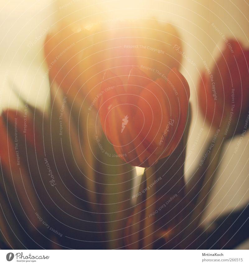 tulips. Umwelt Natur Pflanze Frühling Sommer Tulpe Blatt Blüte exotisch Erfolg Kraft Willensstärke Mut Leidenschaft authentisch Weisheit Farbfoto