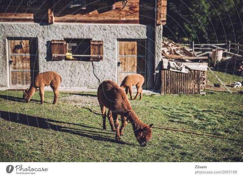 Südtiroler Alpakas wandern Klettern Bergsteigen Natur Landschaft Sommer Schönes Wetter Baum Wiese Dorf Haus Hütte Essen Fressen stehen frisch nachhaltig