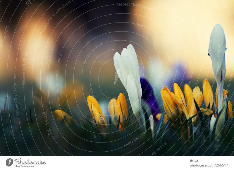 Springtime colours Natur Pflanze schön weiß Blume Erholung Tier kalt gelb Frühling Wiese Gras natürlich klein hell Erde