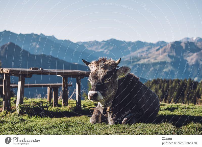 Südtiroler Kuh wandern Klettern Bergsteigen Natur Landschaft Sommer Schönes Wetter Gras Alpen Berge u. Gebirge Nutztier Erholung liegen schlafen natürlich blau