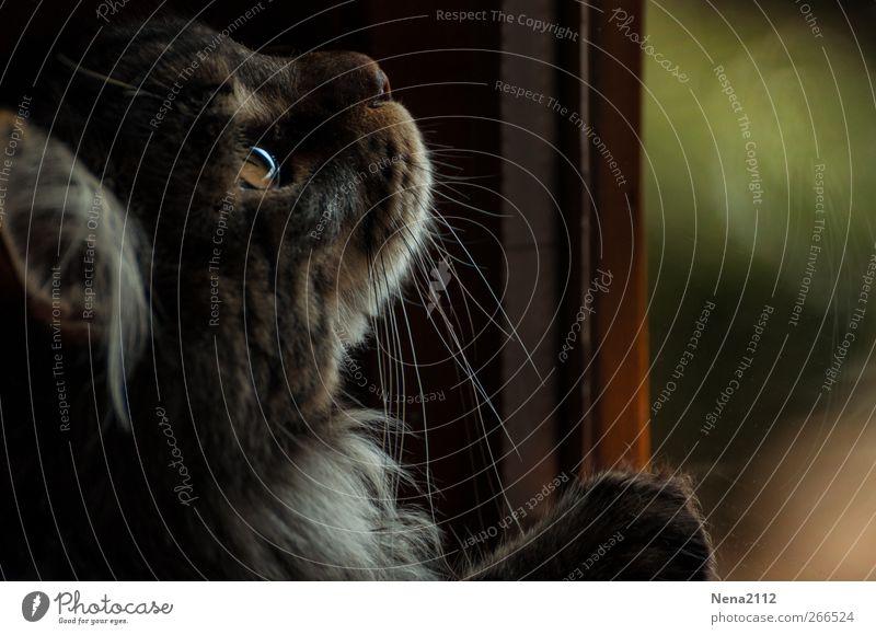 Fangenspiel Tier Haustier Katze Tiergesicht 1 beobachten fangen Jagd warten Ausdauer Interesse Hoffnung Auge Blick Spielen Farbfoto Innenaufnahme Nahaufnahme