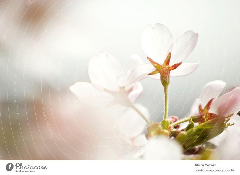 Don't hide behind Natur Frühling Blüte Kirschblüten Blühend ästhetisch grün rosa weiß Frühlingsgefühle Beginn Gefühle Idylle Farbfoto Gedeckte Farben