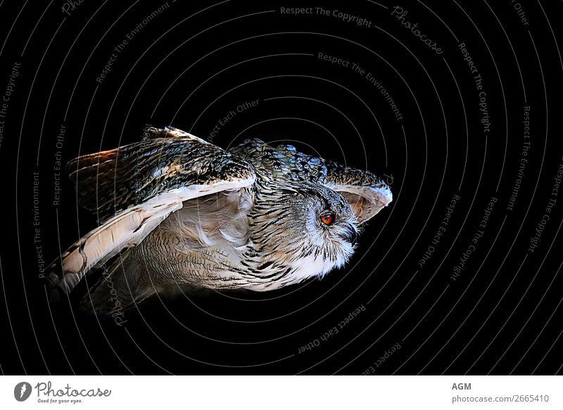 Eule im Flug vor schwarzem Hintergrund Tier Wildtier Vogel 1 fliegen Jagd ästhetisch dunkel nah Geschwindigkeit wild Lebensfreude Kraft Weisheit Bewegung