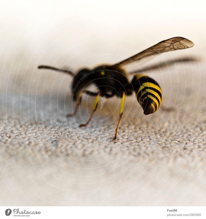 """komm bloß nicht näher .... Natur Sommer Wildtier Wespe 1 Tier Aggression bedrohlich frech natürlich stachelig gelb gold schwarz einzigartig Idee """"Stachel Körper"""