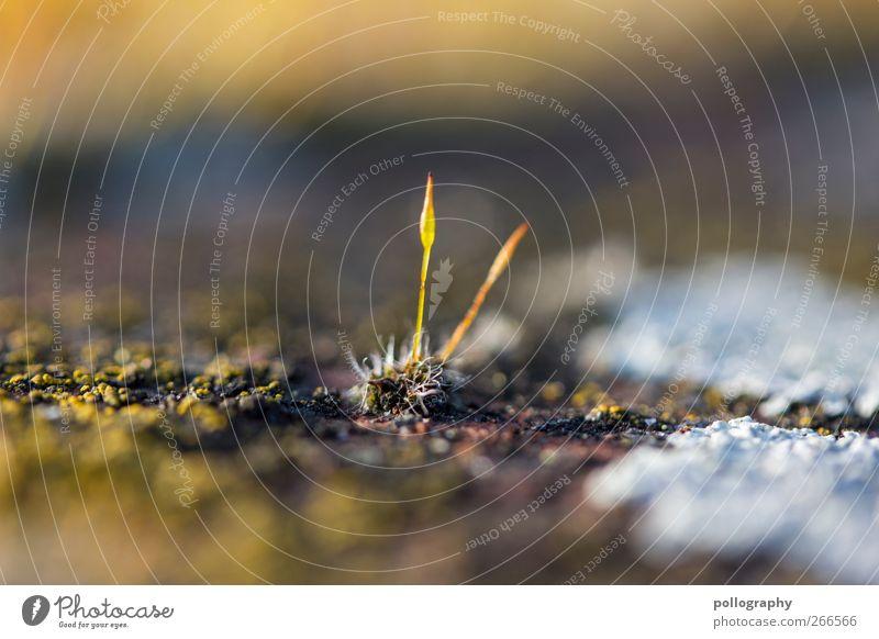 Aller Anfang ist klein Natur Pflanze Erde Frühling Schönes Wetter Gras Moos Grünpflanze Wildpflanze Felsen braun gelb grün weiß Beginn Spitze 2 Blütenknospen