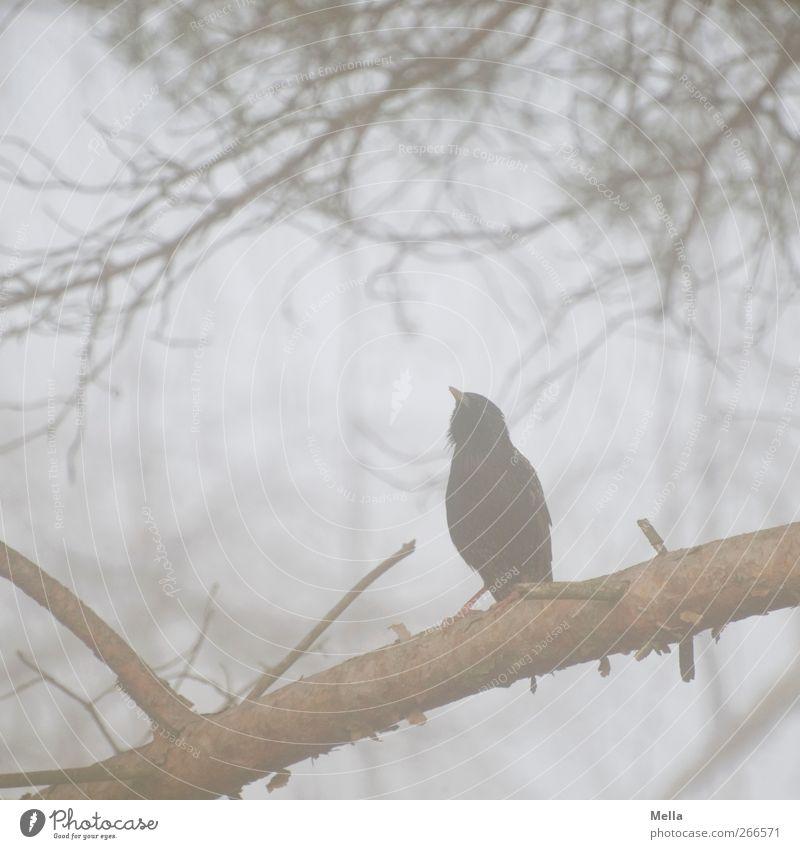 To be a star Natur Pflanze Tier Umwelt Freiheit grau Vogel Nebel sitzen natürlich frei trist Ast singen hocken Star