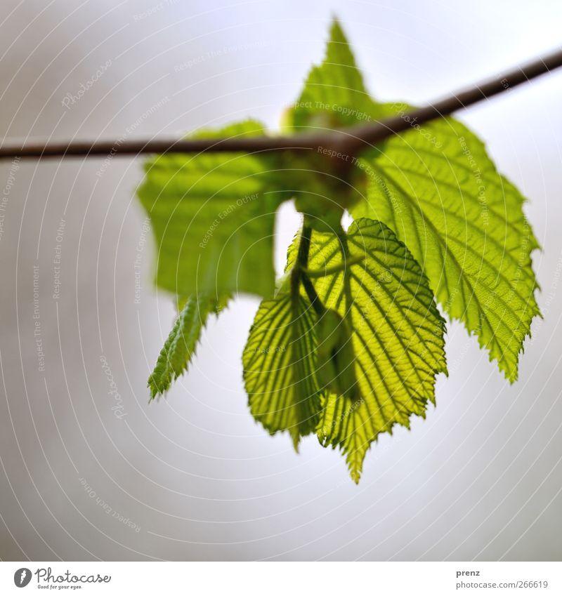 es grünt so... Umwelt Natur Pflanze Sträucher Blatt Wildpflanze grau Zweig Zweige u. Äste Blattadern Blattgrün Blattknospe Frühling Frühlingsfarbe Nahaufnahme
