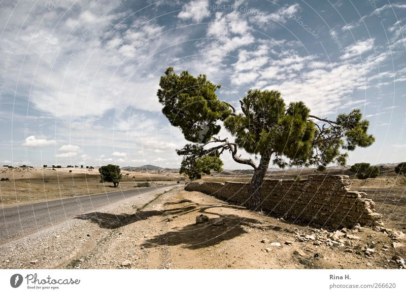 Einsame Pinie II Natur Landschaft Pflanze Himmel Wolken Sommer Herbst Schönes Wetter Nadelbaum Tunesien Mauer Wand Straße Stein Sand natürlich trocken Wärme
